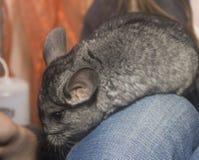 Chinchilla. Close-up grey chinchilla on human leg Stock Photography