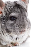 Chinchilla Royalty Free Stock Photo