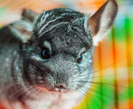 Chinchilla close up Stock Image