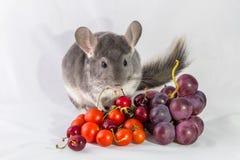 Chinchilla con las uvas y los tomates Imágenes de archivo libres de regalías