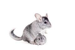 Chinchilla con los bebés en blanco Imagenes de archivo