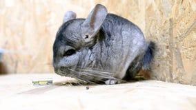 Chinchilla in contactdierentuin Huishuisdieren stock video
