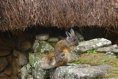 chinchilla Court-coupé la queue de chinchilla de chinchilla, Machu Picchu, Aguas Calientes, Pérou Image libre de droits