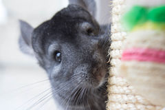 Chinchilla. Curious chinchilla peeks scratching posts Royalty Free Stock Photography