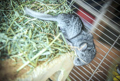 Chinchilla d'animal familier de bébé Photo stock