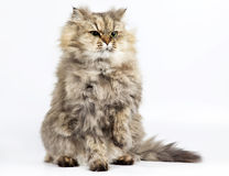 Chinchilla d'or de chat persan avec une patte augmentée Photo libre de droits