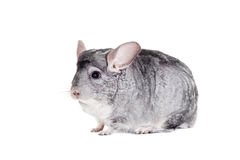 Chinchilla d'isolement sur le blanc Photos stock