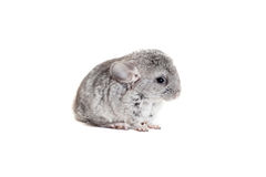 Chinchilla de bébé d'isolement sur le blanc Photographie stock
