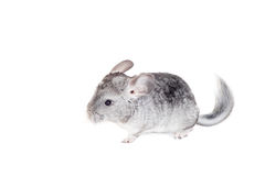 Chinchilla de bébé d'isolement sur le blanc Photo stock