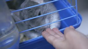 Chinchilla in de dierentuinopslag stock footage