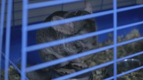 Chinchilla in de dierentuinopslag stock video