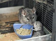 Chinchilla de la madre del animal doméstico con su equipo Imagen de archivo