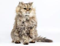 Chinchilla de oro del gato persa con una pata levantada Foto de archivo libre de regalías