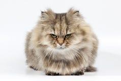 Chinchilla de oro enojada del gato persa Fotos de archivo libres de regalías