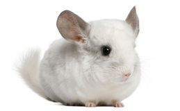 Chinchilla de Wilson, 12 mois Photos stock