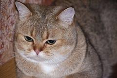 Chinchilla del gato con los ojos tristes Fotografía de archivo