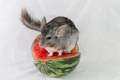 Chinchilla, die auf einer Scheibe der Wassermelone sitzt Lizenzfreie Stockfotografie
