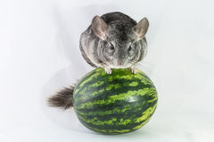 Chinchilla, die auf einer Wassermelone balanciert Stockfotos