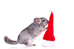 Chinchilla, die mit einem roten Sankt-Hut spielt Lizenzfreie Stockbilder