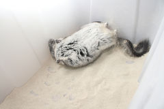 Chinchilla dust bath stock photography