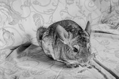 Chinchilla eating Stock Photography