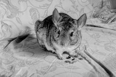 Chinchilla eating Stock Photos