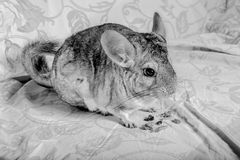 Chinchilla eating Stock Photo