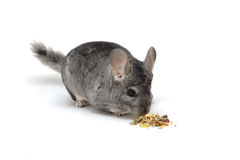 Chinchilla eating its food Royalty Free Stock Photography