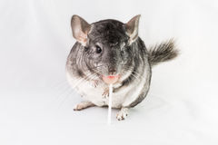 Chinchilla eating pink lollipop Stock Photo
