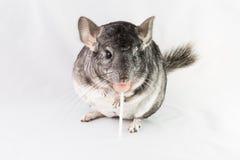 Chinchilla eating lollipop Stock Photo