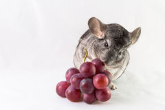 Chinchilla eating bunch of grapes Royalty Free Stock Images