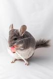 Chinchilla eats lollipop Stock Photos