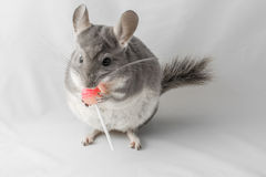 Chinchilla eats lollipop Royalty Free Stock Images
