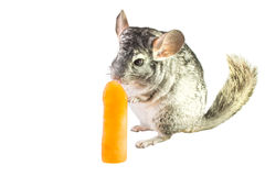 Chinchilla eats orange ice lolly Stock Image