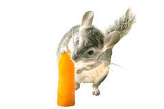 Chinchilla ice lolly. Chinchilla licking orange ice lolly on white background Stock Photography
