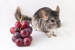 Chinchilla en druiven Stock Foto
