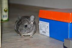Chinchilla en la caja de cartón imagen de archivo libre de regalías