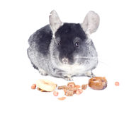 Chinchilla with food Royalty Free Stock Image