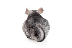 Chinchilla, foyer sur la queue Photographie stock
