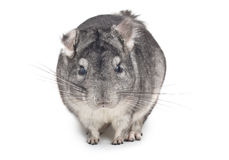 Chinchilla, in front Stock Photo