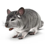 Chinchilla with Fur on White Background Royalty Free Stock Image