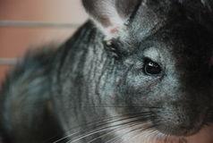 Chinchilla Gloria Royalty Free Stock Image