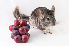 Chinchilla and grapes Stock Photo