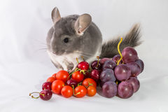 Chinchilla with grapes and tomatoes Royalty Free Stock Image