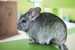 Chinchilla grey color, sitting in chair Stock Photography