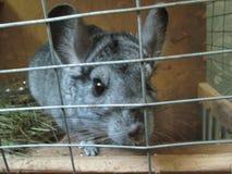 chinchilla gris Fotos de archivo