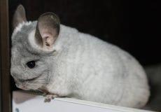 Chinchilla gris blanc Image stock