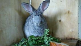 Chinchilla gris de la raza del conejo en una jaula almacen de video