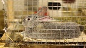 Chinchilla gris de la raza video del conejo en una jaula metrajes