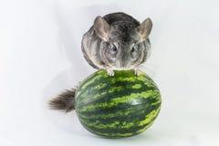 Chinchilla het in evenwicht brengen op een watermeloen Stock Foto's